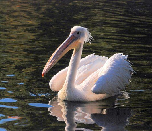 Obrovské bílé ptáky fotky